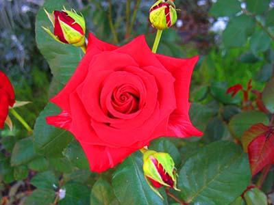 Эксклюзивные розы