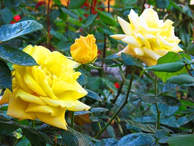 Красивые розы в пансионате Орхидея