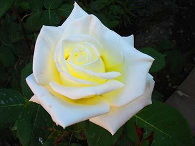Волшебство цвитущих роз